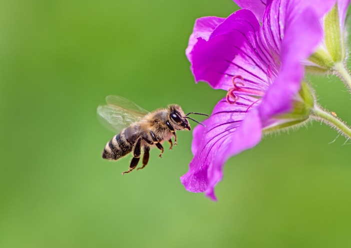 Honey bee flying over flowers